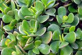 Crassula ovata (Jade Plant,Money Plant) succulent plant close up.