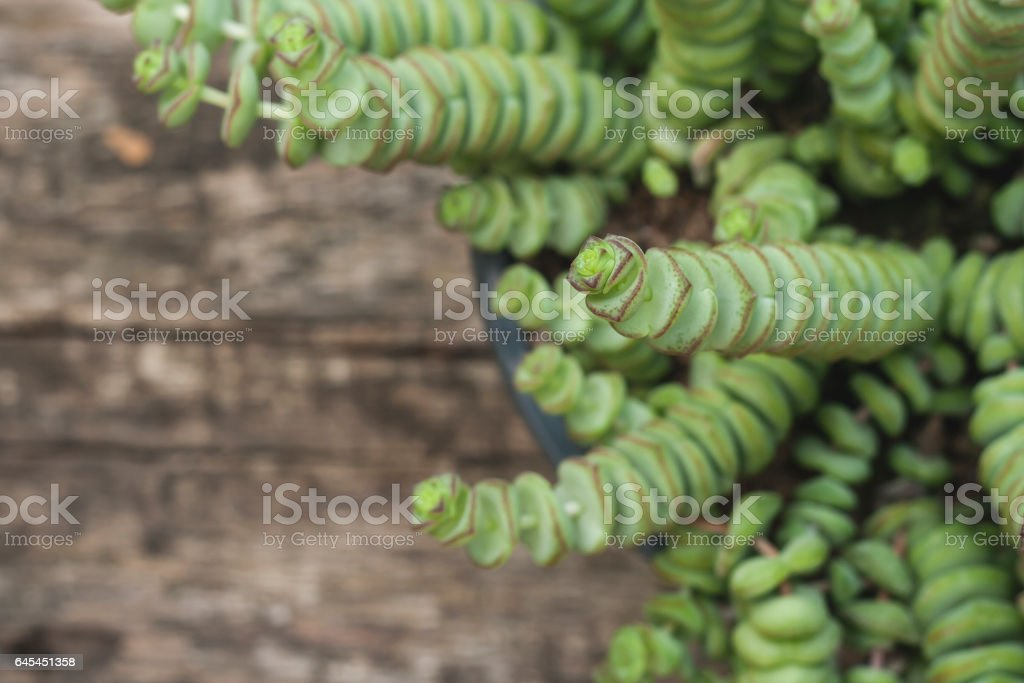 Crassula perforata or string of buttons plant close up stock photo