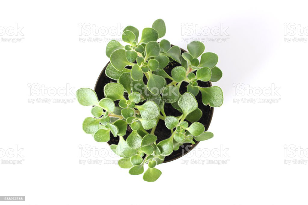 Crassula stock photo