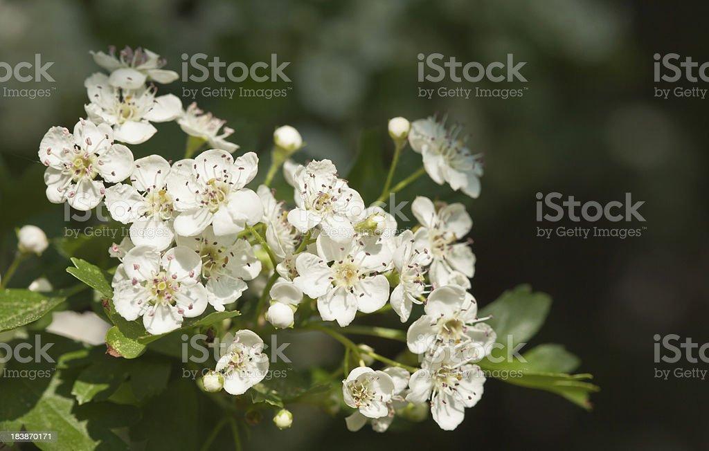 Crataegus blossoms royalty-free stock photo
