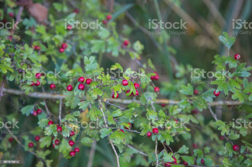 Crataegus Monogyna commonly called hawthorn, with its red berries in autumn.In a nature reserve in Italy. stock photo