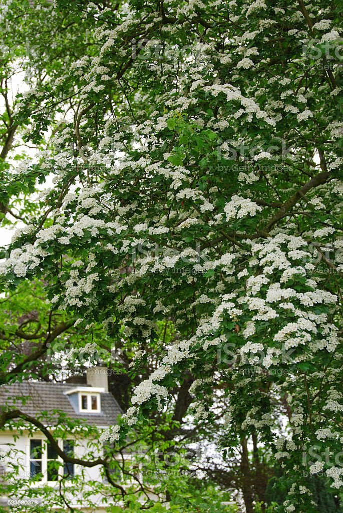 Crataegus monogyna in full bloom stock photo