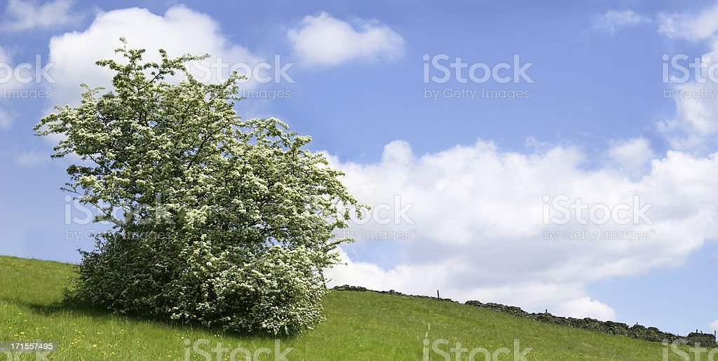 Crataegus Monogyna (Hawthorne) - Tree royalty-free stock photo