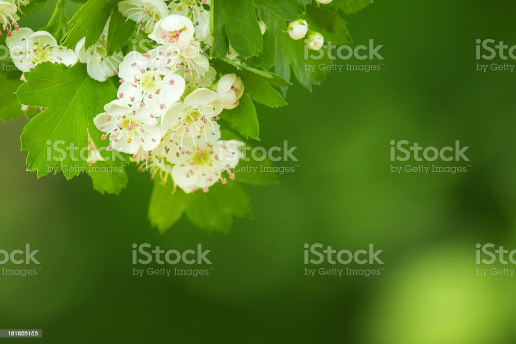 Crataegus. royalty-free stock photo