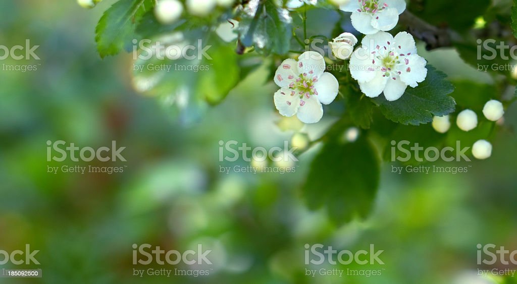 Crataegus. stock photo