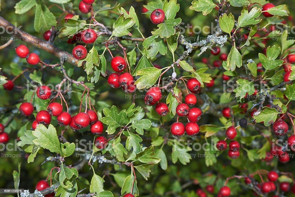 Crataegus stock photo