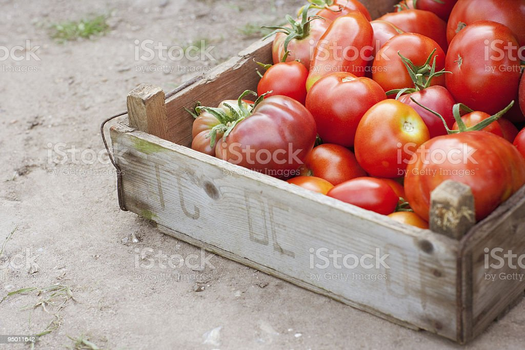 Crate of organic tomatoes royalty-free stock photo