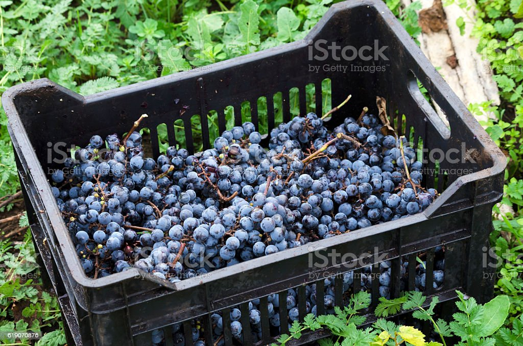 Crate with Merlot clusters stock photo