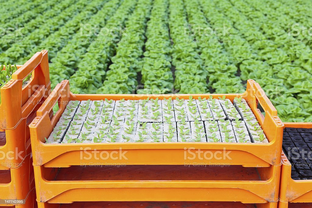 Crate with young lettuce plants in a greenhouse royalty-free stock photo