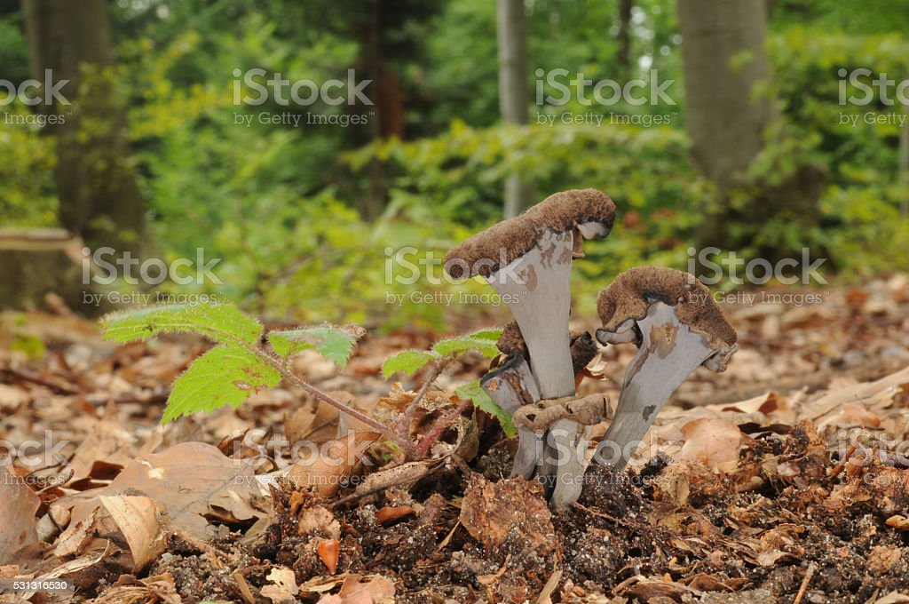 Craterellus cornucopioides fungus stock photo