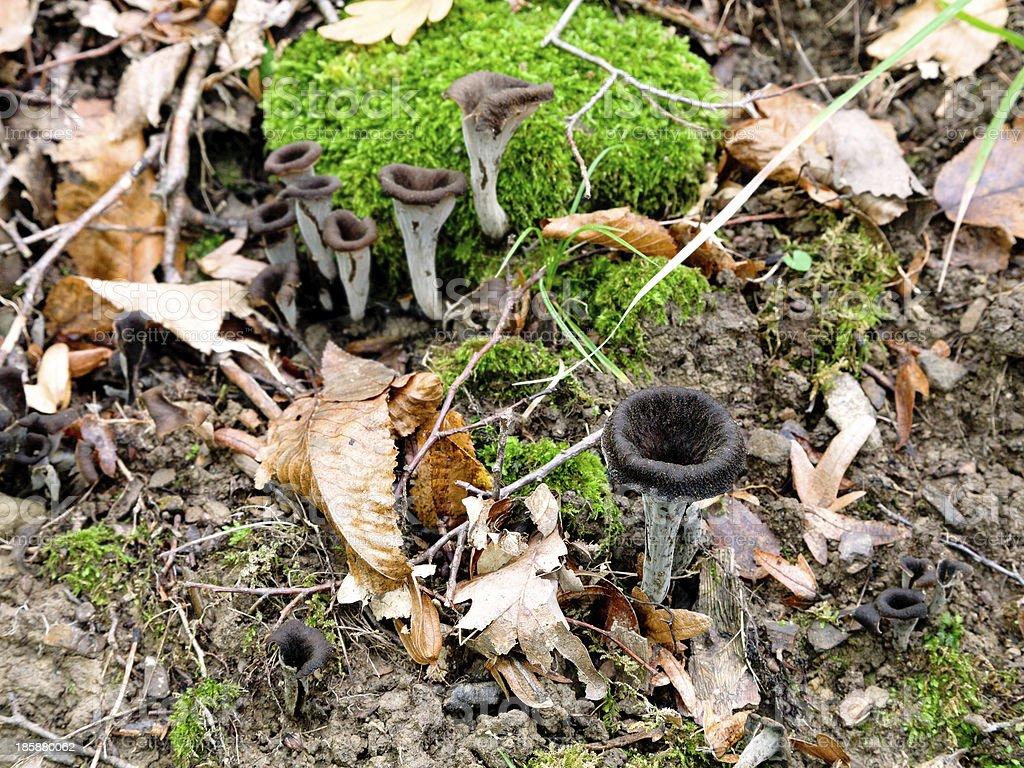 craterellus cornucopioides mushrooms stock photo