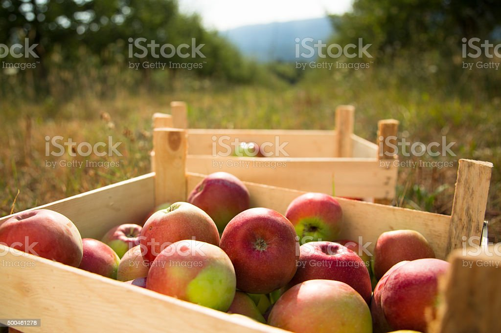 Crates of Apples in after picking stock photo