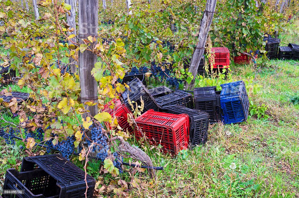 Crates on the ground in a vineyard row in Bulgaria stock photo