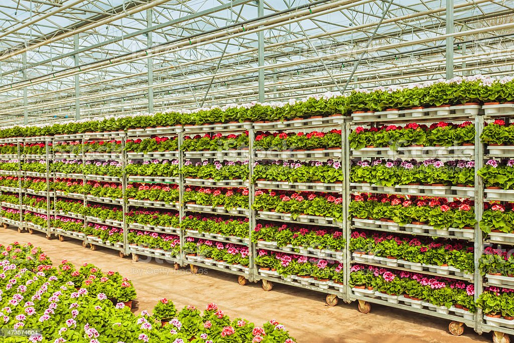 Crates with Dutch geranium plants ready for export stock photo