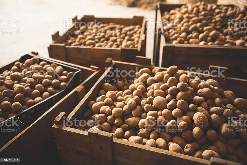 Crates with Fresh Potatoes stock photo