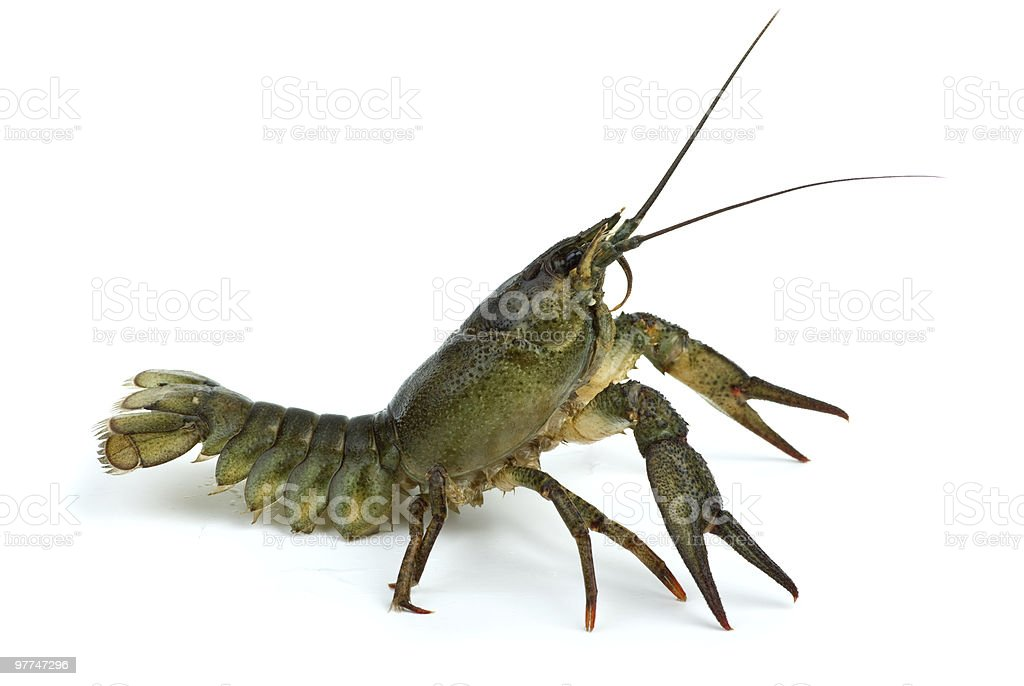 Crawfish in defensive position stock photo