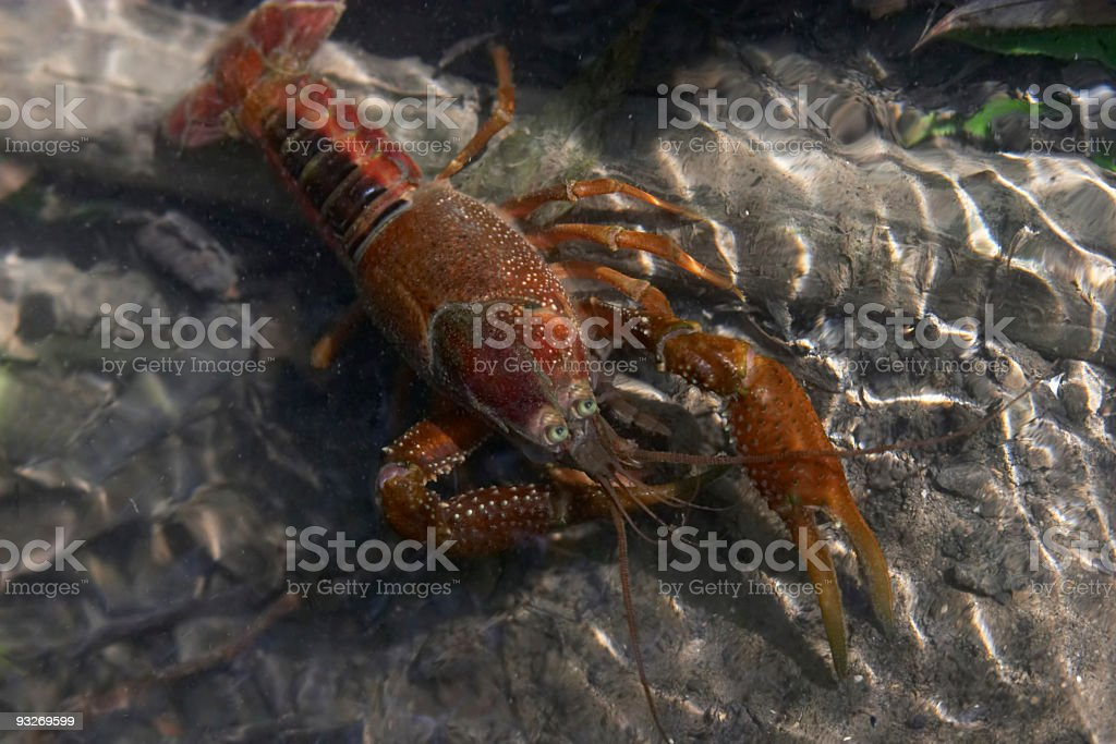 Crawfish or Crayfish royalty-free stock photo