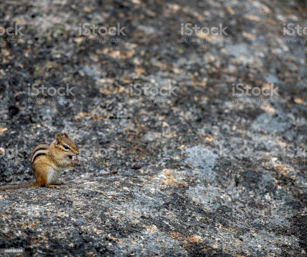 Crawford Notch Chipmunk stock photo