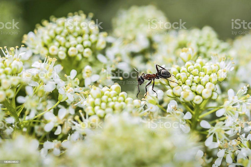 Crawling ant royalty-free stock photo