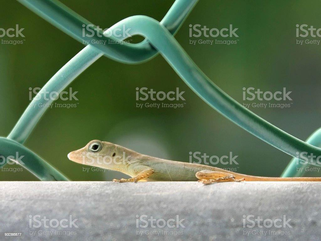 Crawling Gecko royalty-free stock photo