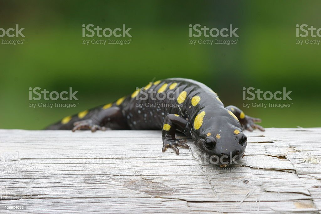 Crawling Lizard royalty-free stock photo