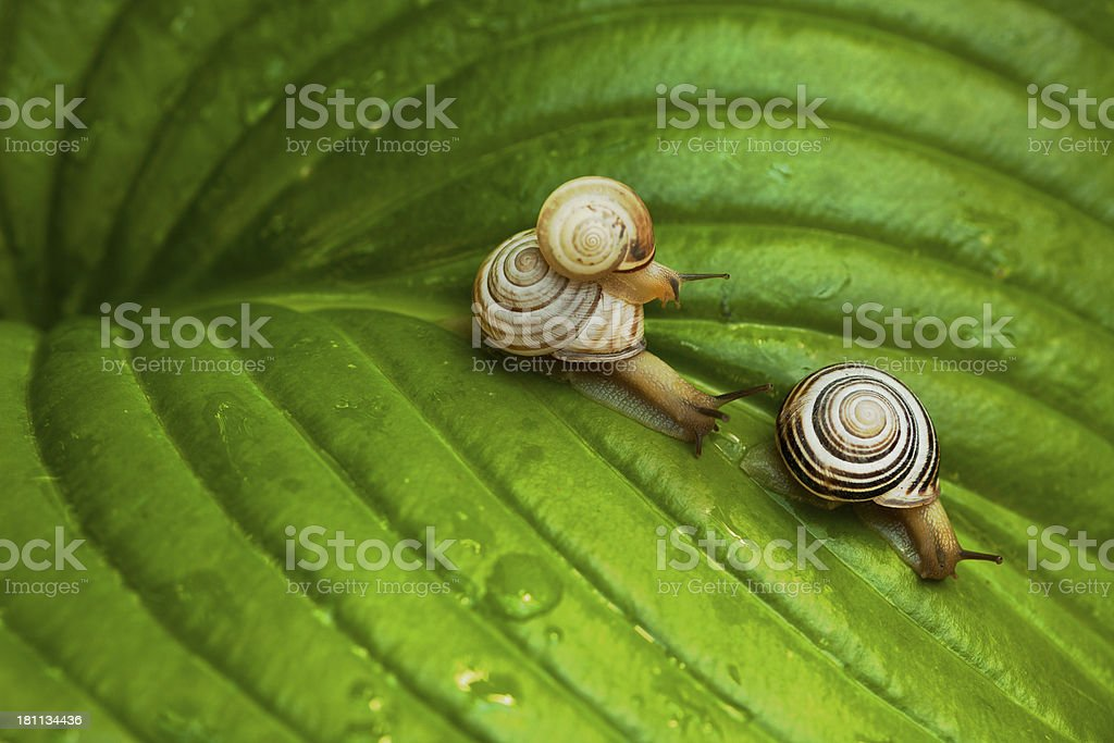 Crawling snail (Helix pomatia) family stock photo