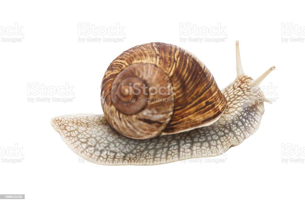 Crawling snail (Helix pomatia) stock photo