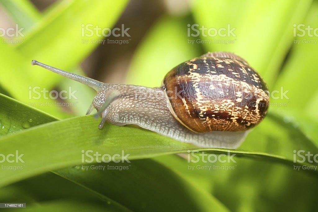 Crawling Snail royalty-free stock photo