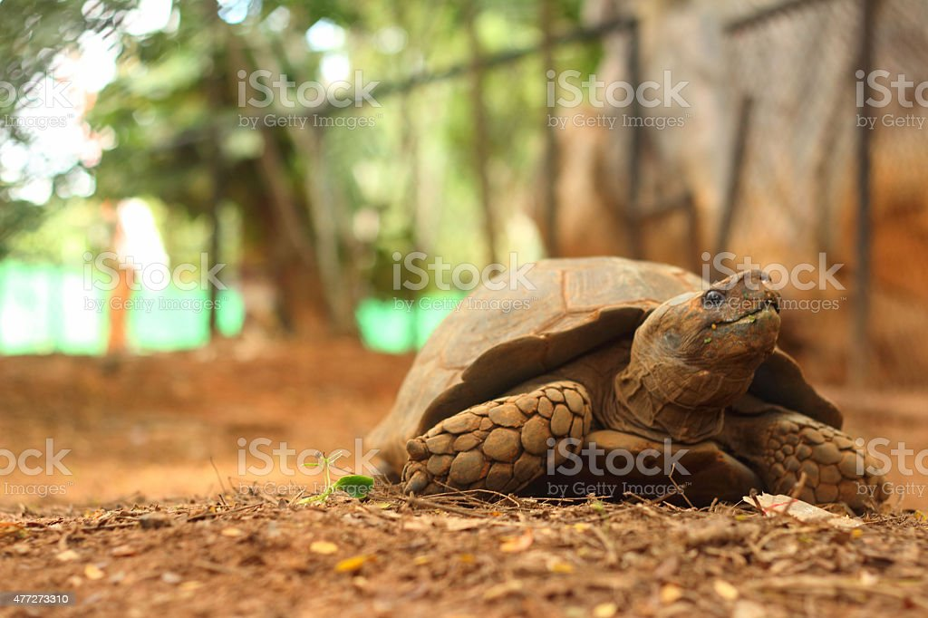 Crawling tortoise in the nature at the zoo stock photo