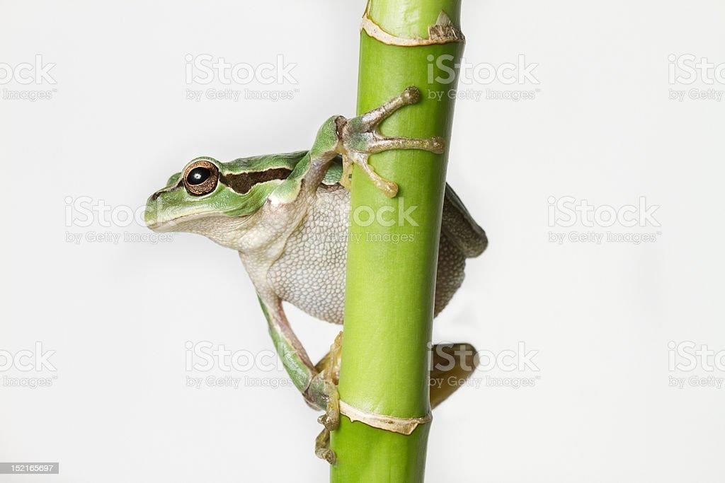 Crawling Tree frog isolated on white stock photo