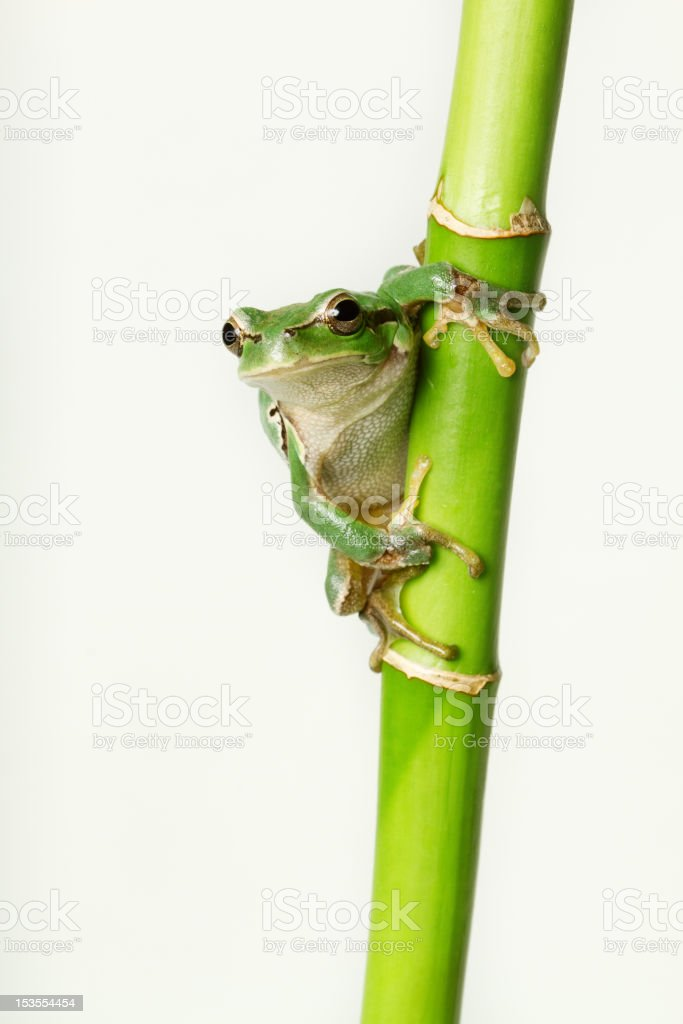 Crawling Tree Frog on a Bamboo Stick stock photo