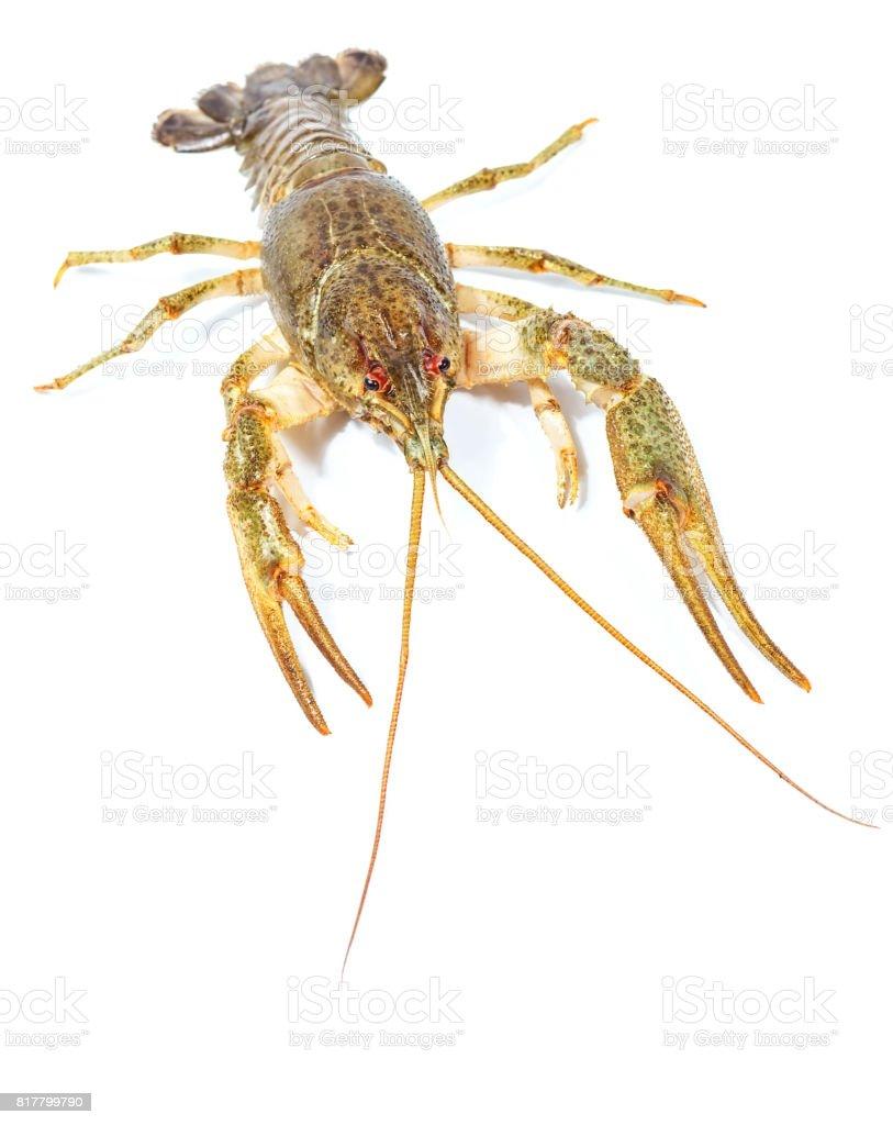 Crayfish close up isolated on white background stock photo