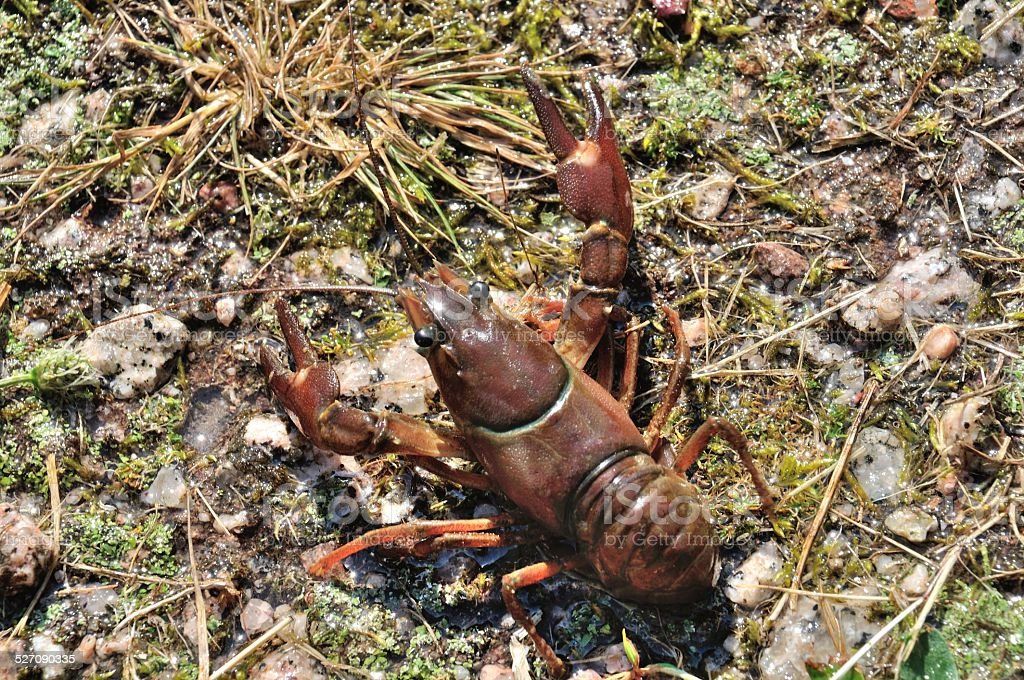 Crayfish in a pond stock photo
