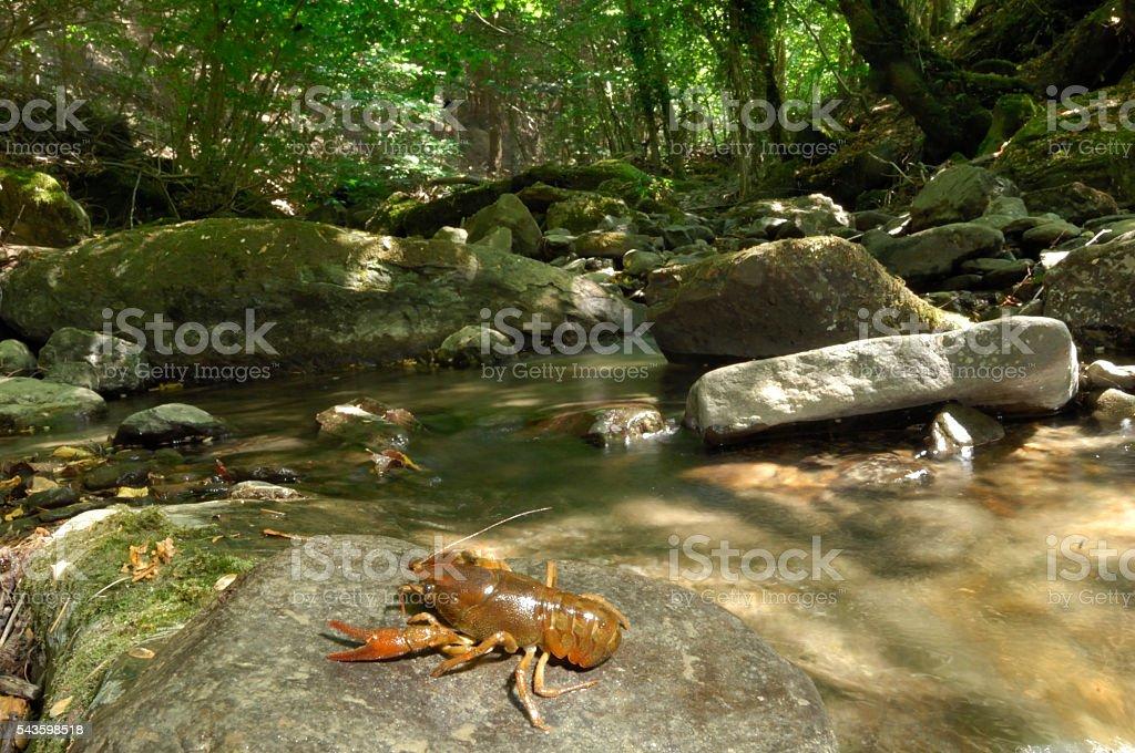 Crayfish in its habitat stock photo