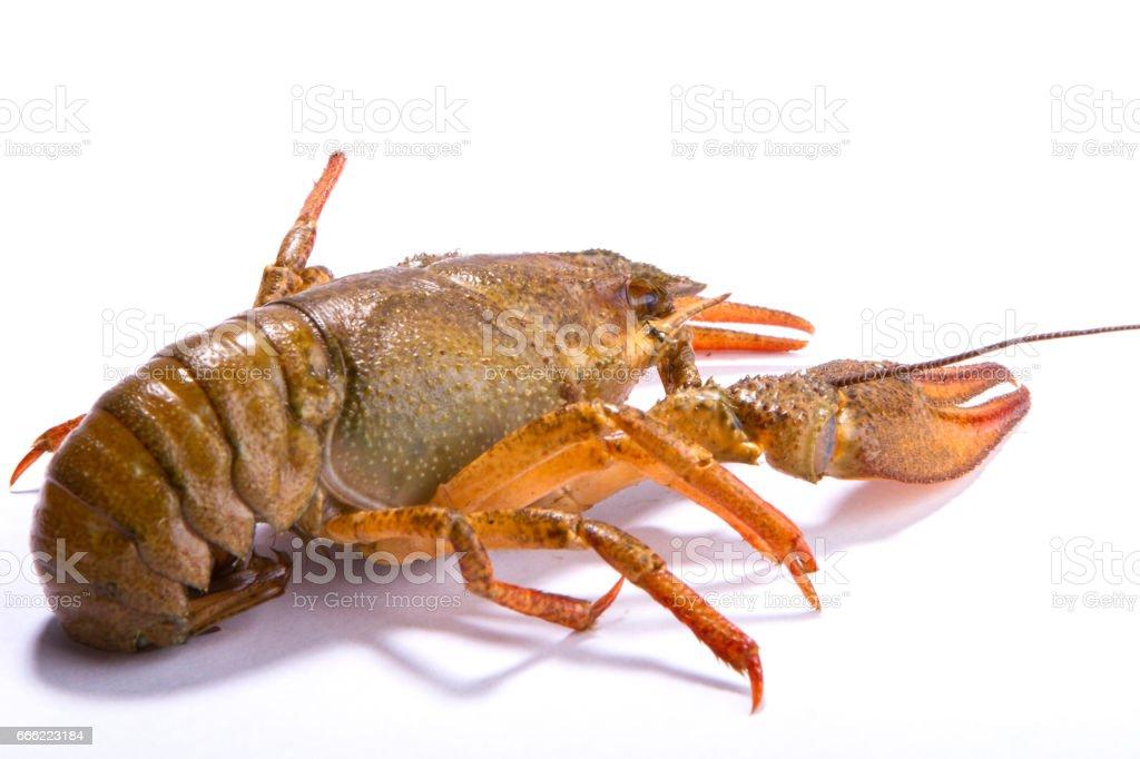 Crayfish isolated on white stock photo