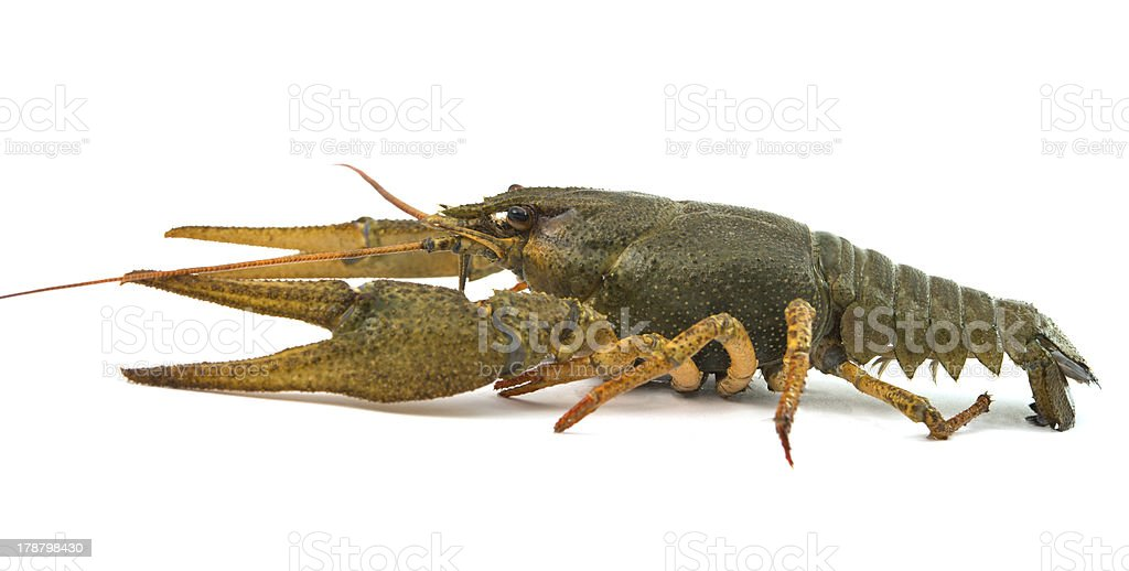 crayfish isolated royalty-free stock photo