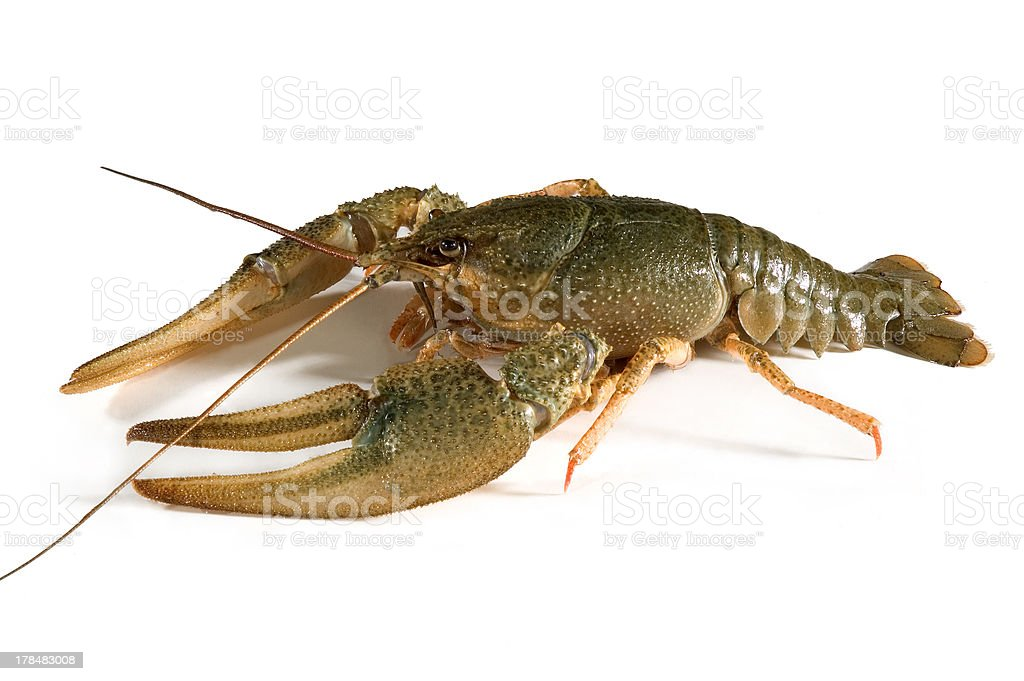 Crayfish royalty-free stock photo