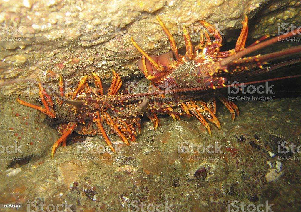 Crayfish - underwater stock photo