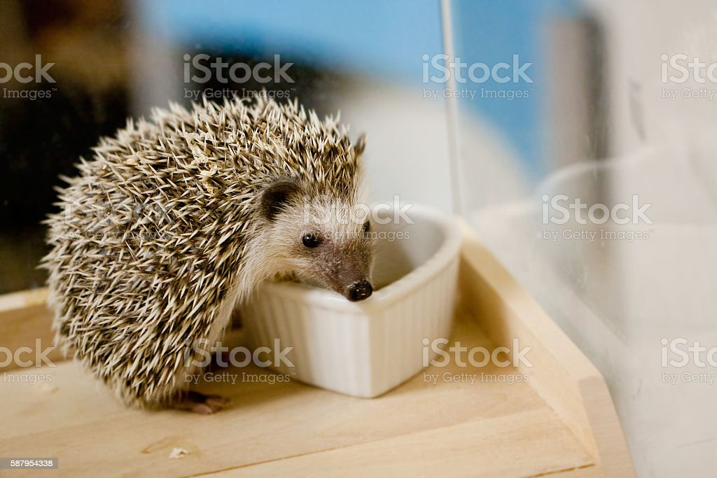 Crazy and eat the bait, baby hedgehog stock photo