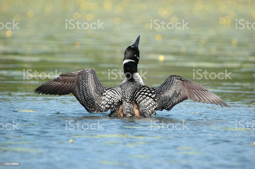 Crazy as a Loon stock photo