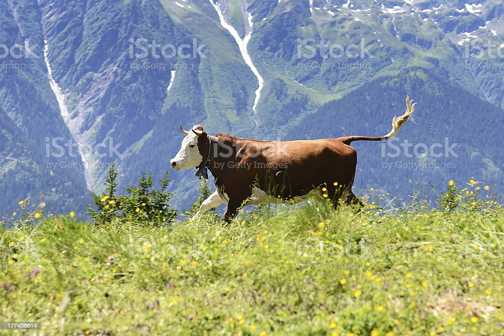 crazy cow is jumping in the mountain stock photo