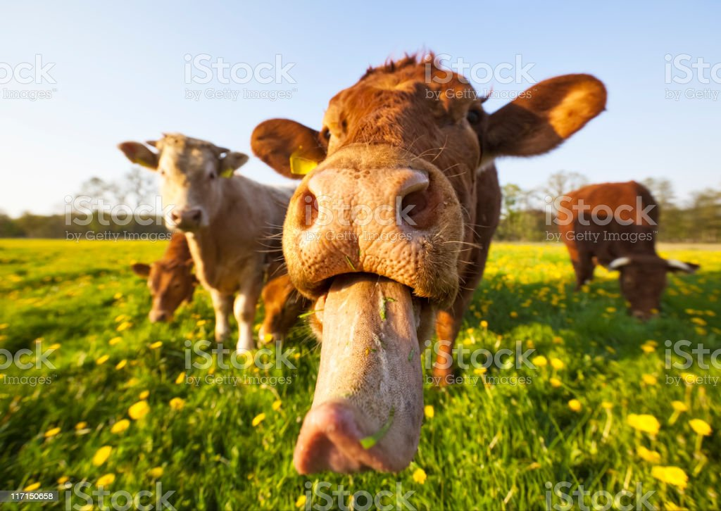 Crazy Cow royalty-free stock photo