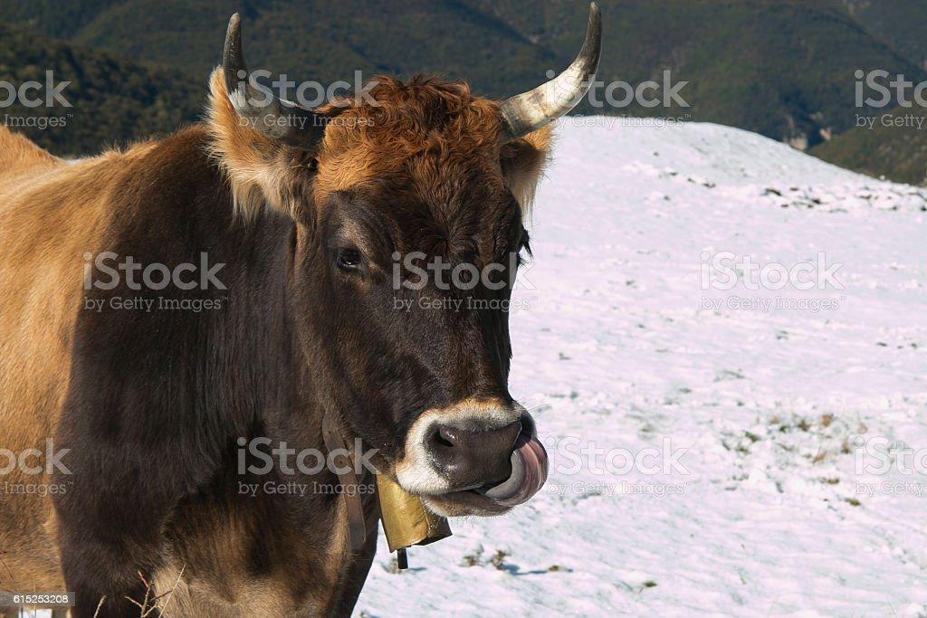 Crazy cow stock photo