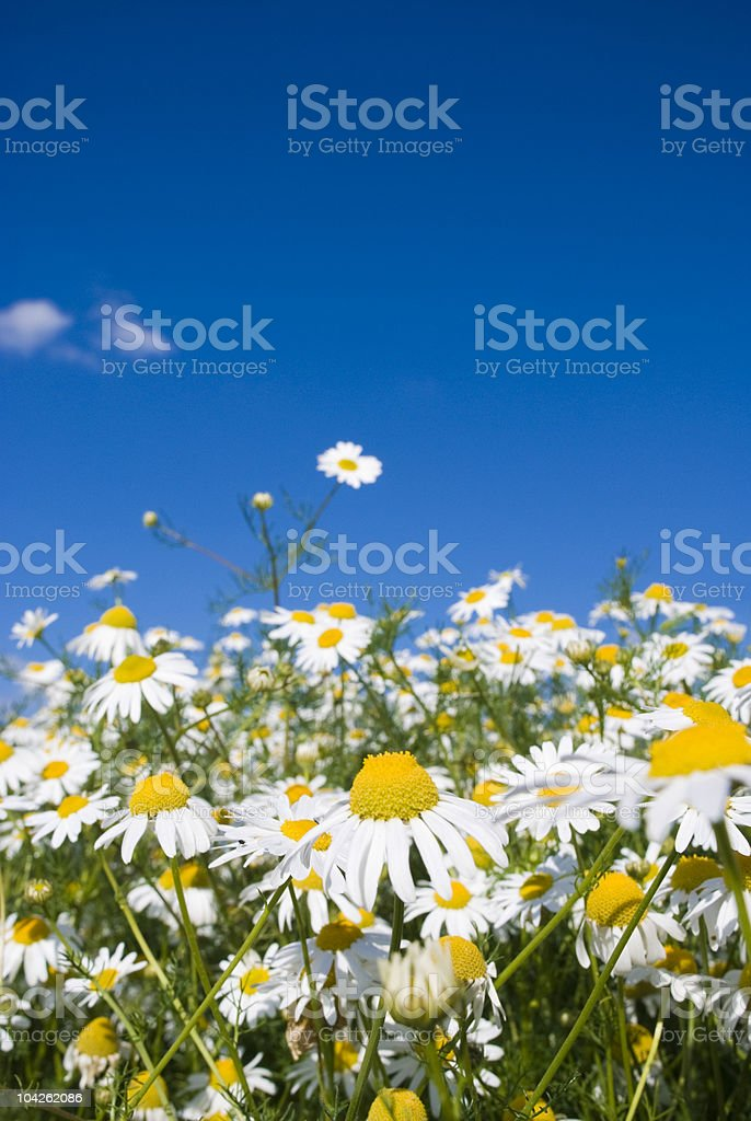 Crazy daisy's stock photo
