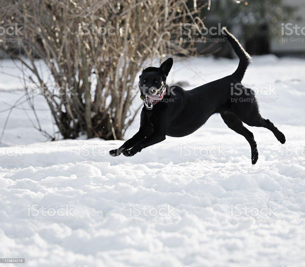 Crazy Face Dog Leaping Through Snow stock photo