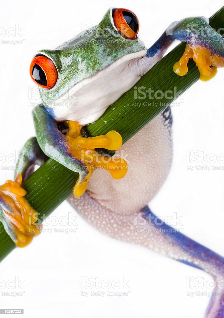 Crazy frog royalty-free stock photo
