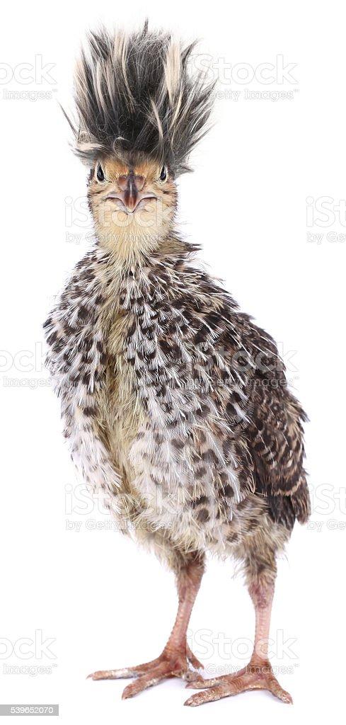 Crazy funny bird quail with ridiculous hair stock photo