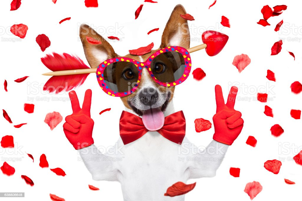 crazy in love valentines dog stock photo