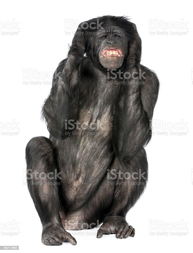 Crazy monkey screaming stock photo