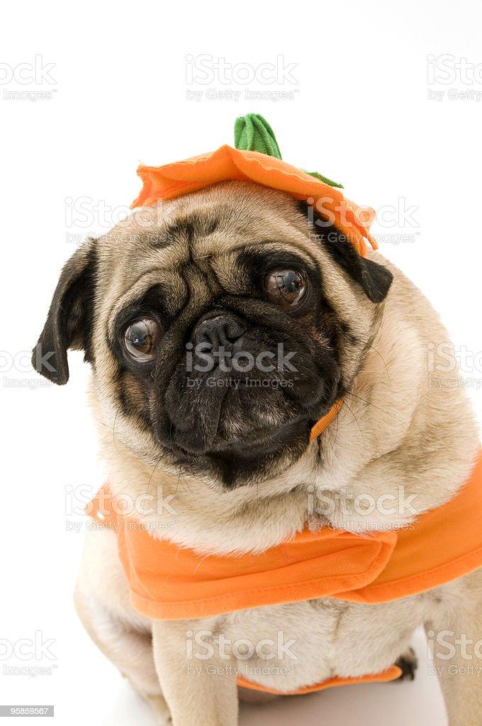 Crazy Pug in Halloween Costume stock photo